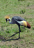 Gray-crowned crane.
