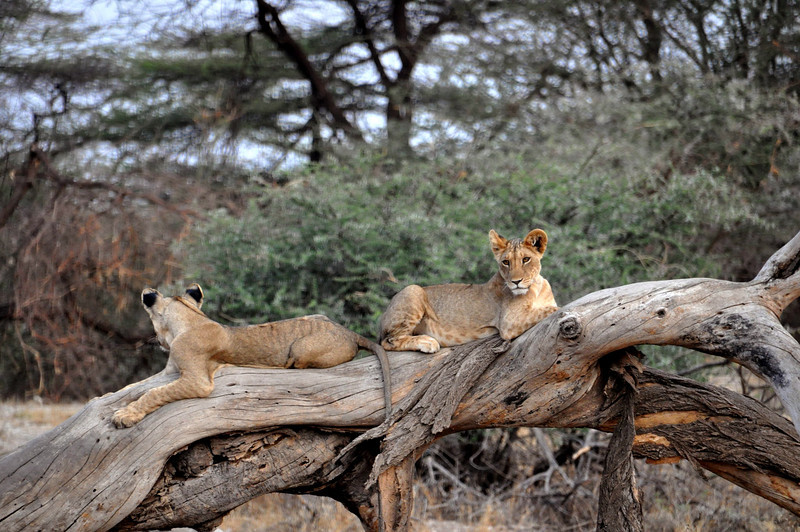 Get prepared for lots of lion photos.  There were four young ones posing for us.