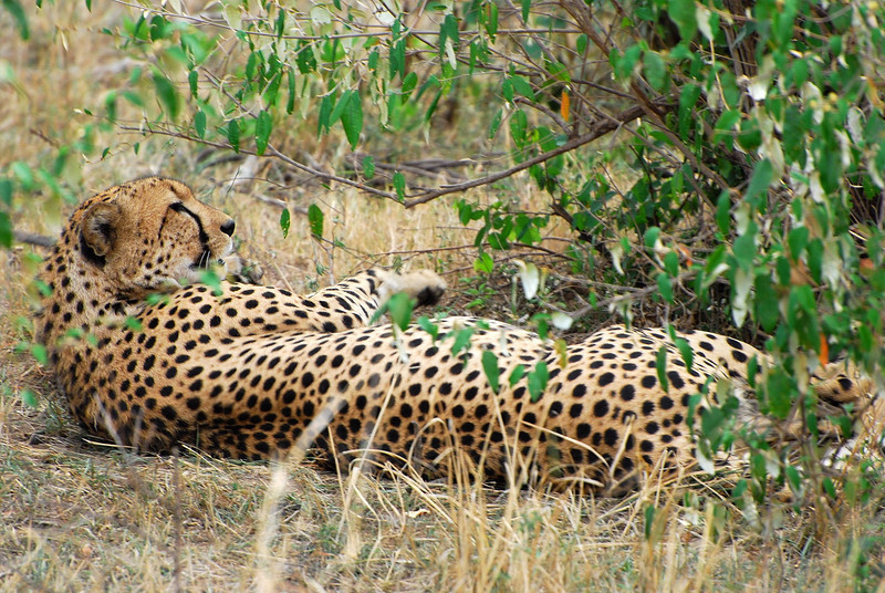Resting cheeta.