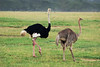 Male and female ostrich.