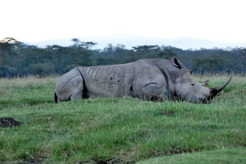 White rhino laying down.  White rhinos are grass eaters.  They have a flat nose and mouth.