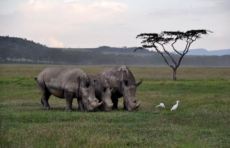 Rhino grazing at sunset.