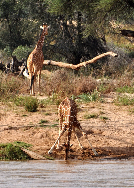 This is when the giraffe is most vulnerable to attack.