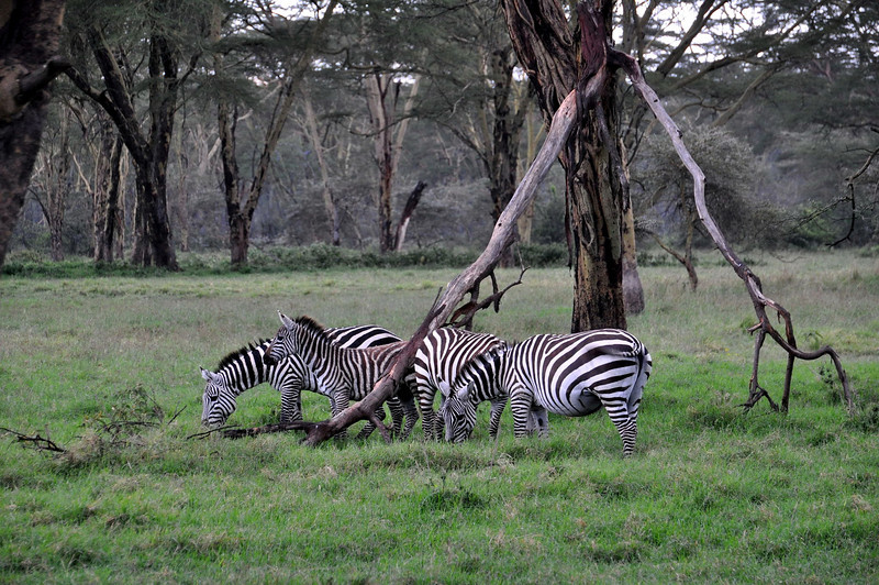 These are the plains zebra.