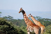 More giraffe.  Notice the darker color of the male.  These are the Masai giraffe.