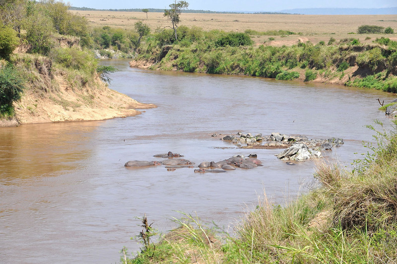 Hippos in the Mara River.