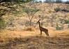 An impala.