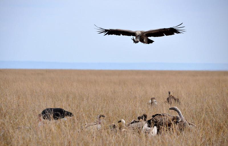 Vultures feeding on a kill.