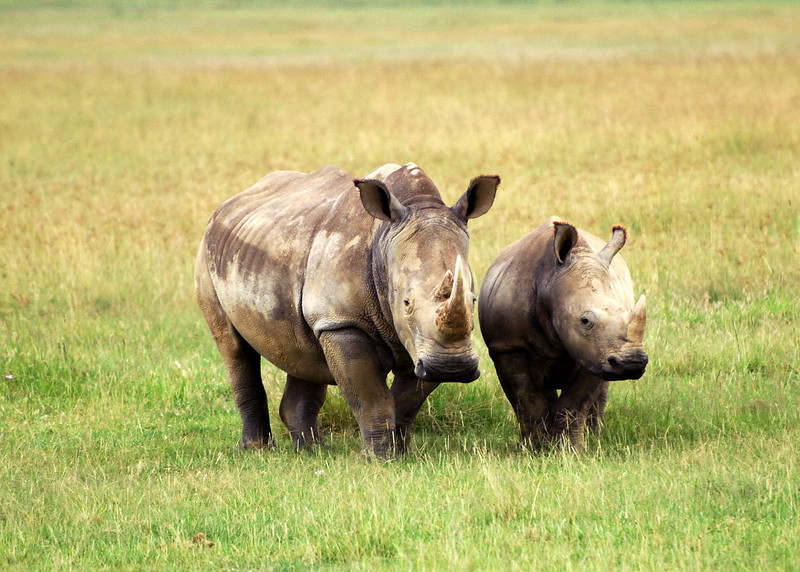 White rhinos.  See the flat nose/mouth?