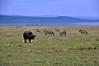 Buffalo, zebra and birds.