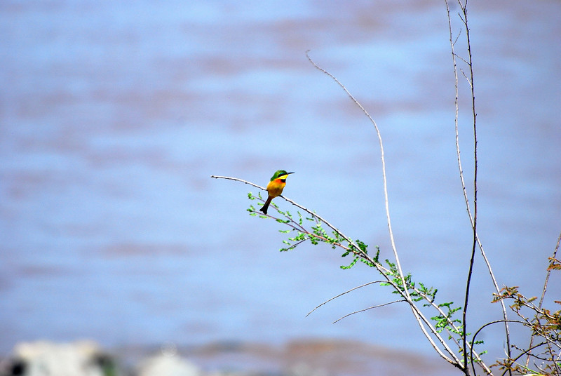 I think it is some sort of bee eater bird.