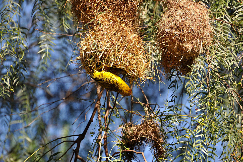 This is a weaver bird.