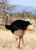 See the bit of blue on the legs?  That is what makes him the Somalia ostrich.