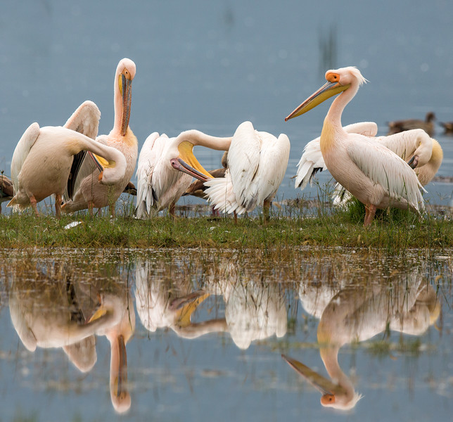 Lake Nakuru National Park, Kenya. Great white pelican.