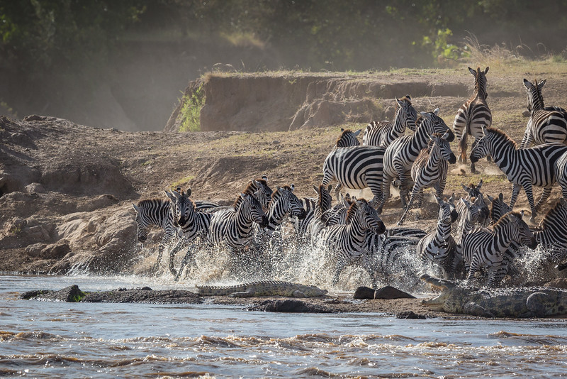 Masai Mara National Reserve, Kenya. Zebras and nile crocodiles.