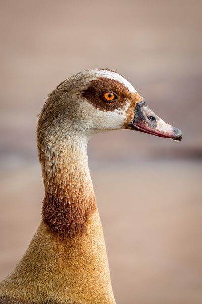 Samburu National Reserve, Kenya. Egyptian goose.