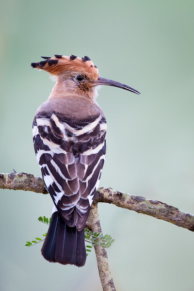 Lake Nakuru National Park, Kenya. Hoopoe.