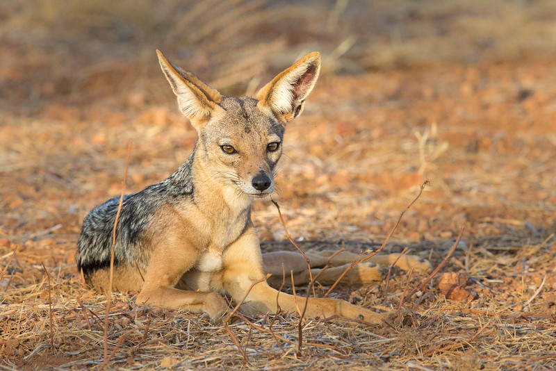 Samburu National Reserve, Kenya. Black-backed jackal.