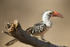 Eastern Red-billed Hornbill