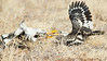 Two Yellow-billed Hornbills Fighting