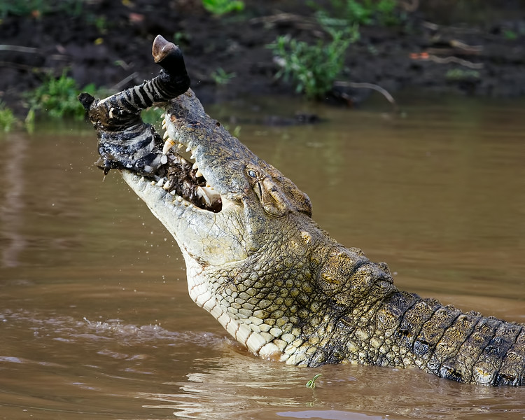 Crocodile and Zebra