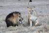 Lion_Sex_Mara_Reserve_Asilia__0009