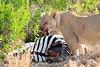 Lion_Cubs_Mara_North_Elewana__0811