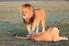 Lion_Sex_Mara_Reserve_Asilia__0001