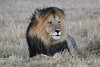 Lion_Sex_Mara_Reserve_Asilia__0003
