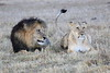 Lion_Sex_Mara_Reserve_Asilia__0012