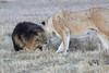 Lion_Sex_Mara_Reserve_Asilia__0004