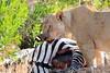 Lion_Cubs_Mara_North_Elewana__0809