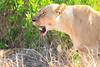Lion_Cubs_Mara_North_Elewana__0828