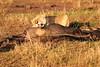Lion_Cubs_Mara_Reserve_Asilia__0046