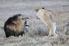 Lion_Sex_Mara_Reserve_Asilia__0013