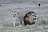 Lion_Sex_Mara_Reserve_Asilia__0016