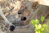 Lion_Cubs_Mara_North_Elewana__0869