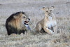 Lion_Sex_Mara_Reserve_Asilia__0011