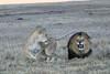 Lion_Sex_Mara_Reserve_Asilia__0017