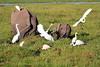 Elephant_Amboseli_Elewana__0251