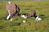 Elephant_Amboseli_Elewana__0248