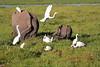 Elephant_Amboseli_Elewana__0249
