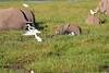 Elephant_Amboseli_Elewana__0272