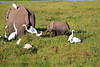 Elephant_Amboseli_Elewana__0264