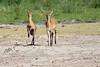 Bush_Buck_Amboseli_Elewana__0021