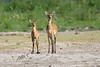 Bush_Buck_Amboseli_Elewana__0026