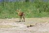 Bush_Buck_Amboseli_Elewana__0043