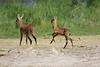 Bush_Buck_Amboseli_Elewana__0042