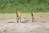 Bush_Buck_Amboseli_Elewana__0019