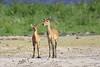 Bush_Buck_Amboseli_Elewana__0028